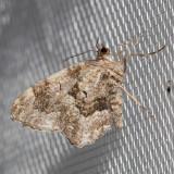 7221 (Ceratodalia gueneata)