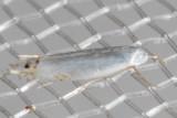 0475 CottonwoodLeafminerMoth    (Paraleucopteraalbella)