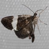 7430 White-stripedBlack    (Trichodeziaalbovittata)