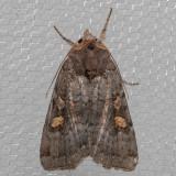 10989 Adelphagrotis stellaris (Adelphagrotis stellaris)
