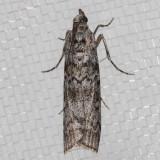 5841 Fir Coneworm   (Dioryctria abietivorella)