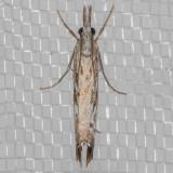 5409WesternCatoptria   (Catoptriaoregonicus)