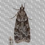 4739.99 Unidentified Scopariinae