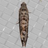 3428 Cherry Fruitworm Moth (Grapholita packardi)