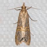 5454 Belted Grass-veneer (Euchromius ocellea)