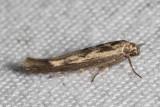 1673 ChenopodiumScythrisMoth  (Scythrislimbella)
