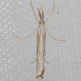 5404 Agriphilaattenuatus  (Agriphilaattenuatus)