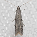 5946.1 Phycitodesmucidella  (Phycitodesmucidella)