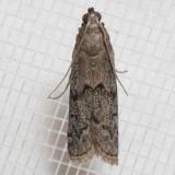 6007.1 Beehive Honey Moth   Vitula serratilineella