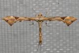 6109 Artichoke Plume Moth (Platyptilia carduidactylus)