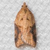 3537 Brittania Moth (Acleris britannia)