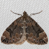 7182 Dark Marbled Carpet (Dysstroma citrata)