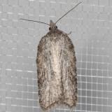 3557 Acleris maximana