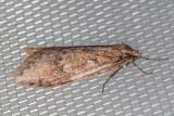 0915 (Semioscopis megamicrella)