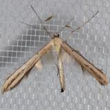 Plume Moth (Hellinsia sp.)