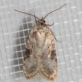 0874.1 Poison Hemlock Moth  (Agonopterix alstroemeriana)