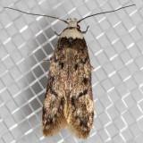 1067 White-shouldered House Moth (Endrosis sarcitrella)