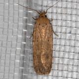 2262 Cotton Stem Moth  (Platyedra subcinerea)