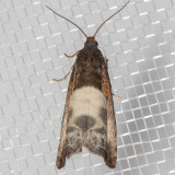 3208.1 Yellow-faced Bell (Notocelia cynosbatella)