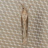 5453 Western Lawn Moth (Tehama bonifatella)
