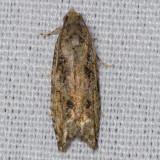 3230 Maple Twig Borer Moth  (Proteoteras aesculana)