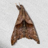 8397 Dark-spotted Palthis (Palthis angulalis)