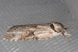 8977 Grey Midget (Nycteola cinereana)