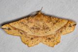 6737 Mottled Euchlaena (Euchlaena tigrinaria)