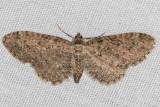 7480 (Eupithecia bryanti)