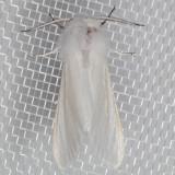 8140 Fall Webworm Moth (Hyphantria cunea)