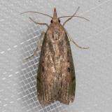 5629 Bee Moth (Aphomia sociella)