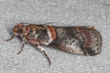 5655 Tricolored Acrobasis Moth (Acrobasis tricolorella)