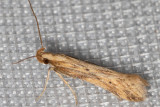 1685 Burdock Seedhead Moth (Metzneria lappella)