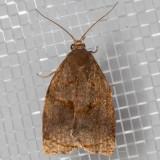 3650 Rose Tortrix Moth (Archips rosana)