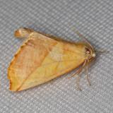 6911 (Sicya crocearia)