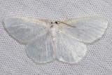 6270 Virgin Moth (Protitame virginalis)