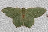 7083 Common Emerald (Hemithea aestivaria)