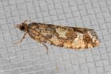 3240 Spruce Bud Moth (Zeiraphera canadensis)