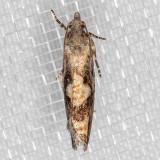 3241 Larch Needleworm (Zeiraphera improbana)