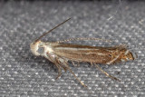 1694 (Isophrictis magnella) (T)