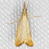 5399 Lesser Vagabond Sod Webworm (Agriphila ruricolellus)