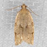 3689 Clepsis virescana (Clepsis virescana)