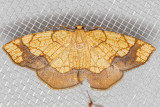 7010 Horned Spanworm (Nematocampa resistaria)
