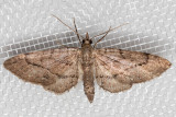 7472 (Eupithecia unicolor)