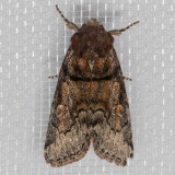 9814 (Cosmia praeacuta)