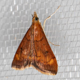 5052 Pyrausta californicalis (Pyrausta californicalis)