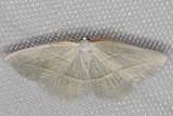 6796 Pale Beauty (Campaea perlata)