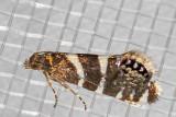 2339  (Glyphipterix bifasciata)