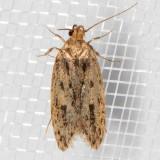 1064 Brown House Moth (Hofmannophila pseudospretella)