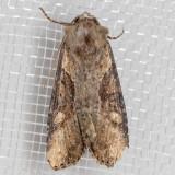 9385.1 Double Lobed Moth (Lateroligia ophiogramma)
